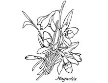 Magnolia Blossom Clip Art - Design Image Source