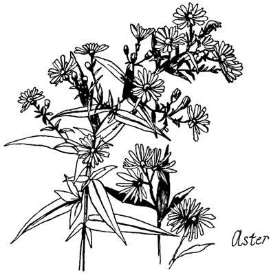 Aster Flower Clipart - Design Image Source