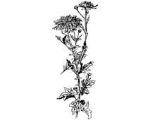 Chrysanthemum Flower Clip Art - Design Image Source