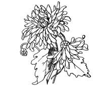 Chrysanthemum Flower Clip Art Image