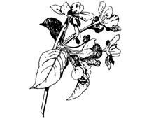 Primrose Clipart