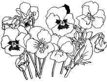 Pansy Flowers in Black and White