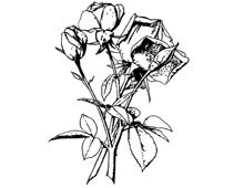 Rose Clip Art Picture