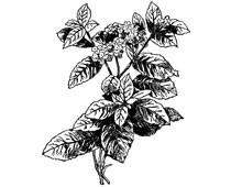 Heliotrope Flower Clip Art