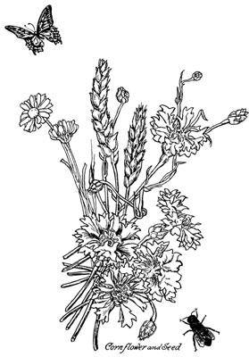 Cornflower Clipart